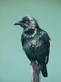 Asian Glossy Starling (Aplonis panayensis) Amphibians, Reptiles, Mammals, Pretty Birds, Beautiful Birds, Two Birds, Bird Pictures, Starling, Exotic Birds