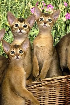Aby's are amazing, they're like psychic energy spheres in a double dose of cat. Jacqui of JacquiandScott and the Previous Pinner said - Cats & Kittens Abyssinian kittens Cute Cats And Kittens, Cool Cats, Kittens Cutest, I Love Cats, Pretty Cats, Beautiful Cats, Animals Beautiful, Animals And Pets, Baby Animals