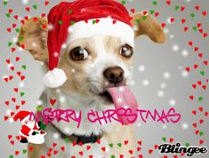 chihuahua pictures funny | ... chihuahua that loves christmas tags christmas tongue chihuahua snow
