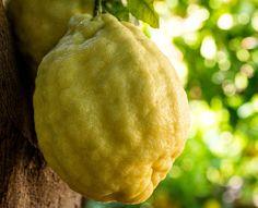 La mia forza ..... i miei rivitalizzanti .... #Amalfi Giant #Lemon - #Organic #Production !!! ☀️ #follow4follow #followme #amalfilemonexperience #lemons #lemonmind #lemontour #whenlifegivesyoulemons #educational #tour #Discovery #family #rural #life #amalficoast #picoftheday #instaphoto