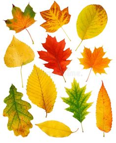 Find Fall Leaves stock images in HD and millions of other royalty-free stock photos, illustrations and vectors in the Shutterstock collection. Autumn Crafts, Autumn Art, Autumn Leaves, Watercolor Leaves, Watercolor Paintings, Fall Leaves Pictures, Fall Leaf Template, Iphone Wallpaper Fall, Fall Background