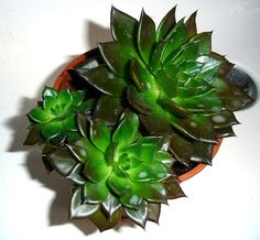 ECHEVERIA BLACK PRINCE Mis 10 Echeverias preferidas | Plantas