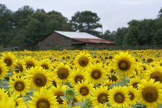 Viewfinder: Sunflower Fields Forever - Cumming, GA Patch