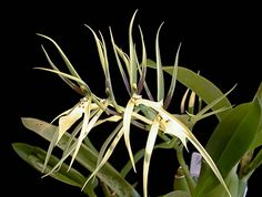 Brassia pumila