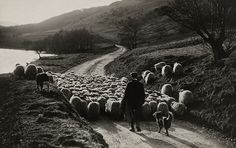 A man herds sheep with the help of his collies in Scotland, 1919. Photograph by William Reed, National Geographic Creative