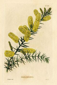 Loddiges_535_Acacia_verticillata_drawn_by_W_Miller.jpg (1816×2731)