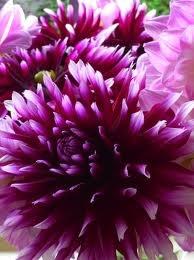 grape colour dhalia