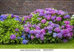 Afbeeldingsresultaat voor hortensia