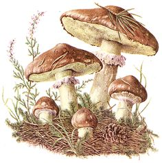 If you want to see more pictures of Mushroom growing you can see other picture Floral Illustration, Nature Illustration, Vintage Botanical Prints, Botanical Art, Mushroom Pictures, Ecole Art, Mushroom Art, Photo D Art, Nature Drawing