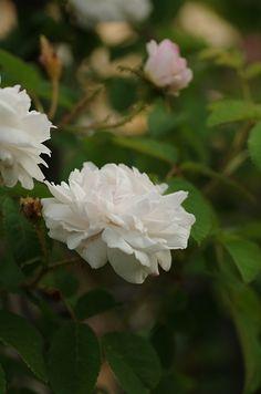 Moss Rose: Rosa 'Comtesse de Murinais' (France, 1843)