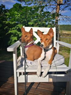 Basenji Puppy, African Men, Dogs Of The World, Doge, Best Dogs, Boston Terrier, Pitbulls, Dog Cat, Puppies
