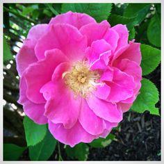 East Quogue Garden Rose Summer 2015