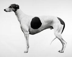 Jonathan Delafield Cook, Greyhound @artsy
