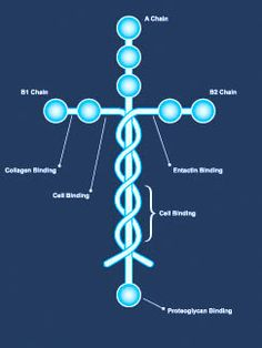 Laminin... the most amazing protein in our bodies.  If for some reason you have never seen it, DON'T MISS the video by Louie Giglio!  http://onemoresoul.com/news-commentary/the-cross-in-our-bodies.html