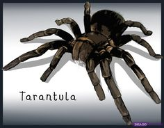 how to draw a tarantula spider
