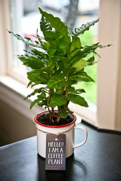 Coffea Arabica coffee plants in jumbo enamelware mugs at Shop The Fox.