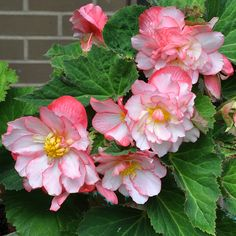 Pot full of begonias