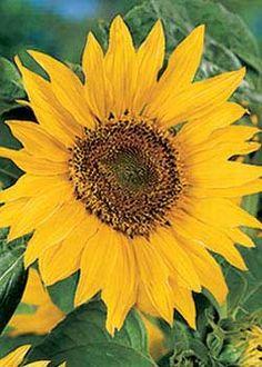 Maya Sunflower