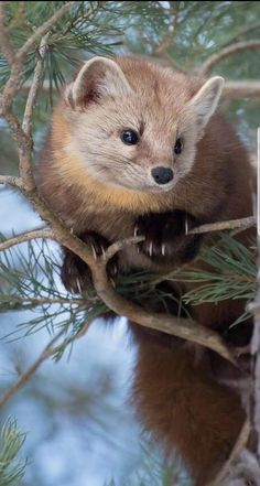 American Pine Marten (Martes americana) - found at the northern limit of the tre. - American Pine Marten (Martes americana) – found at the northern limit of the treeline, from arcti - Animal Magic, Animal 2, Mundo Animal, Animals And Pets, Baby Animals, Funny Animals, Cute Animals, Amazing Animals, Animals Beautiful
