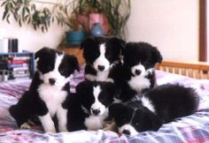 Bed full of baby border collies?! Yes please!!