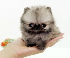 Baby Pomeranian