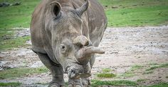 With the Death of San Diego's Northern White Rhino, the Population Drops to Three