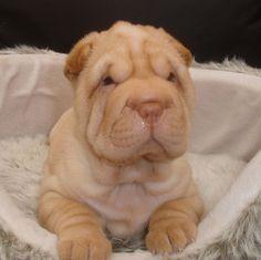 Shar pei pup