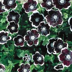 Nemophila Penny Black – McKenzie Seeds