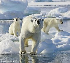 Ready for action: A polar bear looks like she has spotted something for lunch for her cubs