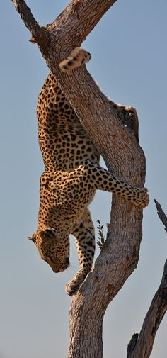 Kruger Leopard jumping down a tree