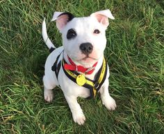 Can you give Rescue dogs a home? All of our dogs are looking for a new home. Find out more today at Dogs Trust! Shelter Dogs, Animal Shelter, Rescue Dogs, Animal Rescue, Doggies, Dogs And Puppies, Dogs Trust, Staffordshire Bull Terrier, Simply Beautiful