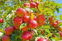 How to Prune an Apple Tree - Organic Gardening - MOTHER EARTH NEWS