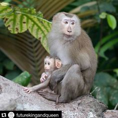 """#Repost @futurekingandqueen - """"How to make sure the Coconut Milk you buy hasnt been picked by monkeys?""""  Yes its a thing.  We were horrified to discover its common practice to force trained Macaca monkeys to pick up to 1000 coconuts a day for human consumption of coconut water milk & cream. BUT there are lots of companies which do not use monkeys OR children to pick coconuts but instead adhere to fair-trade practices.  Check out the accredited list on @_animalplace website. Look for a post…"""