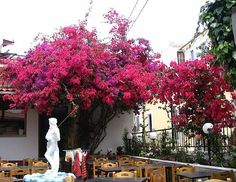 bougainvillea growing in wild profusion over a taverna roof on the island of Skiathos, Greece