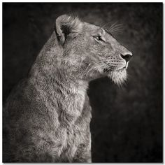 ab5885dadb1 Lioness against rock -Nick Brandt Animal Photography