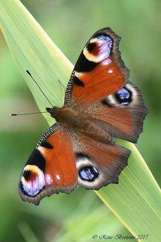 Dagpauwoog. Foto en tekst: René Bootsma Beautiful Bugs, Beautiful Butterflies, Moth Caterpillar, Cute Butterfly, Bugs And Insects, Wallpaper Pictures, Cute Baby Animals, New Art, Cute Babies