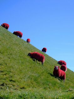 Red Sheep - West Lothian's famous sheep (and darlings of the media). Farmer with a wicked sense of humour, I guess!?  --  photo by davydubbit in 2007, via Flickr
