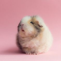 And if you get to see her right when she wakes up, that's how you know she likes you. | The Newest Adorable Animal On Instagram Is A Guinea Pig Named Booboo