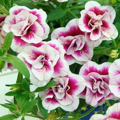 Petunia, Surfinia, Calibrachoa: plant, sow, maintain – Flower Promise … – Famous Last Words Container Flowers, Container Plants, Petunia Surfinia, Purple Petunias, Cottage Garden Plants, Fall Planters, Container Gardening Vegetables, Small Garden Design, Gardens