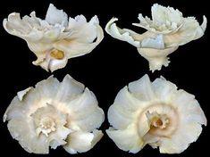 Babelomurex latipinnatus (Azuma, 1961)