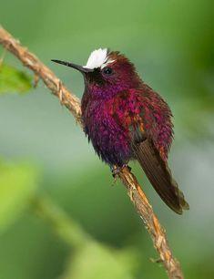 Snowcap Hummingbird (Microchera albocoronata) Honduras, Nicaragua, Colombia, Costa Rica, Panama