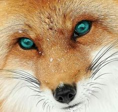 I love it! Nature Animals, Animals And Pets, Baby Animals, Cute Animals, Beautiful Creatures, Animals Beautiful, Fox Images, Fox Pictures, Wild Animals Photos