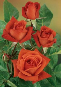 jy terracotta meilland fragrant roses - Fragrant Roses