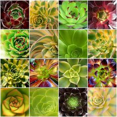 aeoniums & hen and chicks
