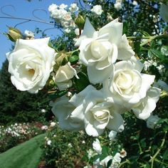 White Dawn Rose - Climbing Roses - Very Fragrant - Heirloom Roses White Climbing Roses, White Roses, White Flowers, Moon Garden, Blue Garden, Fruit Garden, Gladiolus Bulbs, Heirloom Roses, What A Beautiful Day