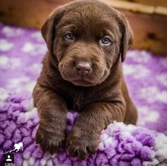 Chocolate Lab puppy wants to see what you're eating
