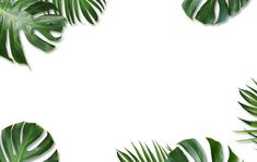 Monstera deliciosa and yellow tropical palm leaves isolated on white background: buy this photo stock and explore similar images in Adobe Stock Blue And White Wallpaper, Flowery Wallpaper, Framed Wallpaper, Mac Wallpaper, Laptop Wallpaper, Wallpaper Backgrounds, Wallpaper Powerpoint, Powerpoint Background Design, Monstera Deliciosa
