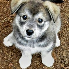 Husky/Pomeranian mix. I want him!!!