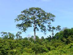 Kankantrie, Surinaamse woudreus