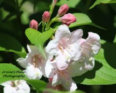 Flowering Bush in my yard.  Photo by Rachael Irvine, Irvine's Place Photography